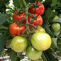 Bloggerevent Tomaten-Ernte